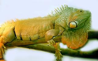 sengoku (my old pet iguana)