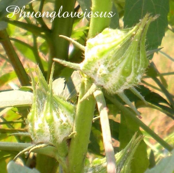 Seed pods ( fruits ) of Hibiscus cannabinus, Deccan Hemp ....Trái của cây Đay Cách, Kê-náp ....