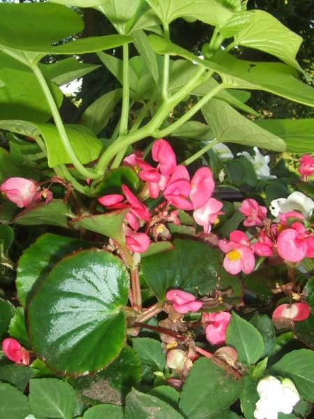 Sweet Potato Vine, Fibrous Begonias, Impatiens
