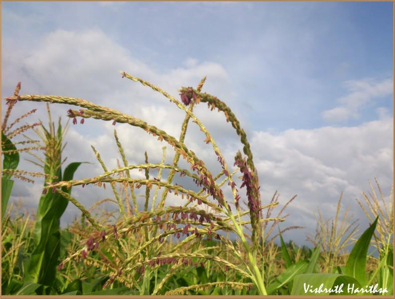 Ragi Plant/ Finger Millet