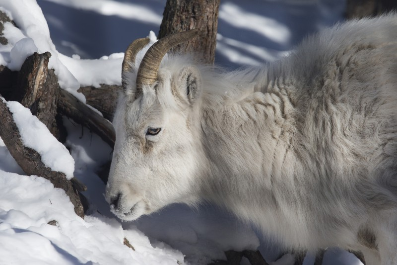 Young Mountain Sheep  (Explored)
