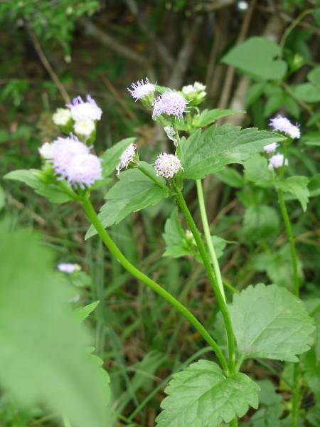 Cỏ hôi  Ageratum conyzoides L., thuộc họ Cúc – Asteraceae
