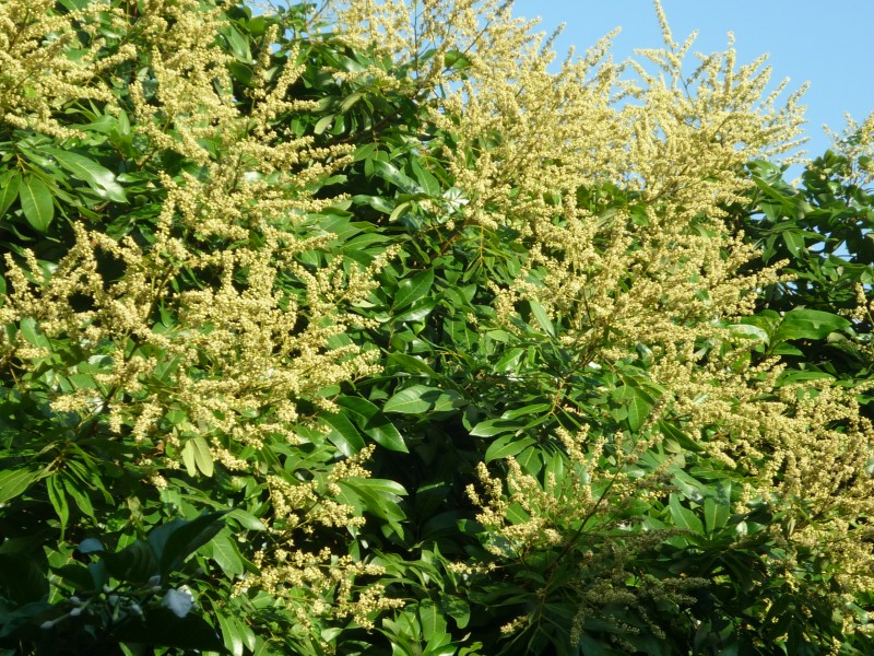 Nhãn Dimocarpus longan  thuộc họ Bồ Hòn  Sapindaceae